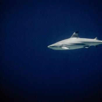Hai / Shark - Tierprints / Animal Prints