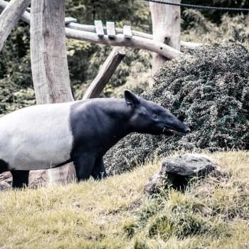 Tapir - Tierprints / Animal Prints