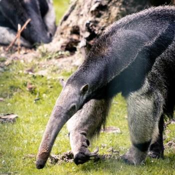 Ameisenbär / Giant Anteater - Tierprints / Animal Prints