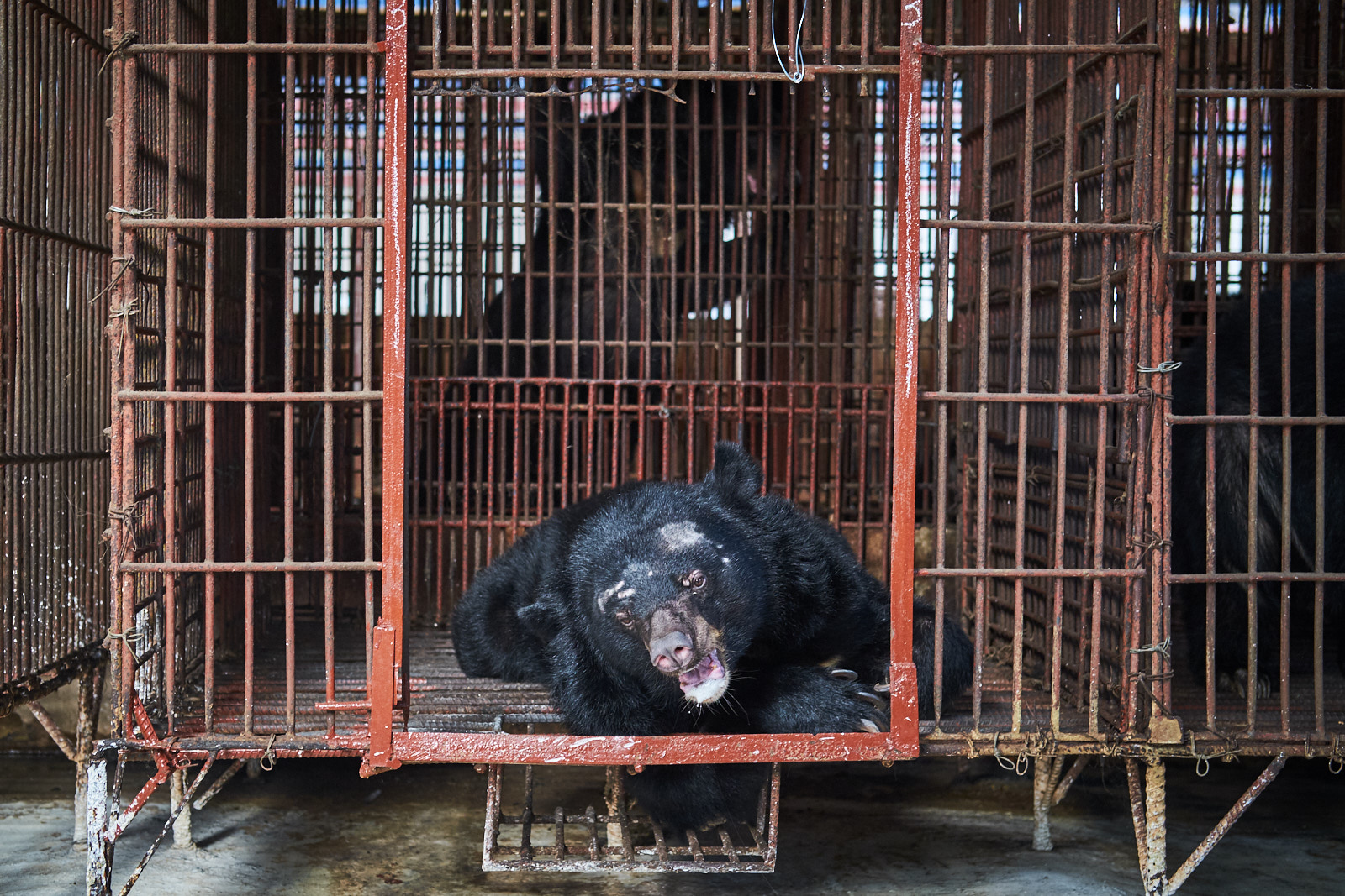 Trại gấu tại Bình Dương – Bear farm NGO shoot for World Animal Protection