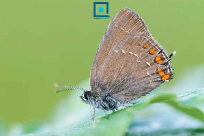 De zeldzame Bruine Eikenpage (Satyrium ilicis) met prachtige details op zijn vleugels, en een heel klein 'staartje'.
