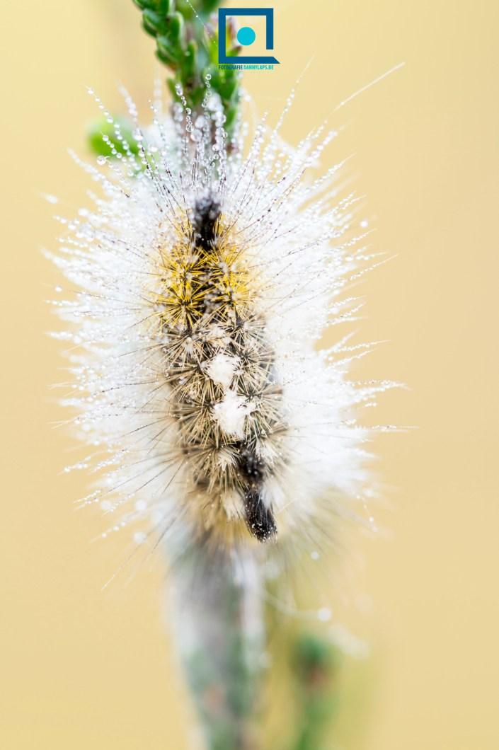 Elke vlinder begint bij een rups. Deze is van de Grauwe Borstel (Dicallomera fascelina ), een nachtvlinder.