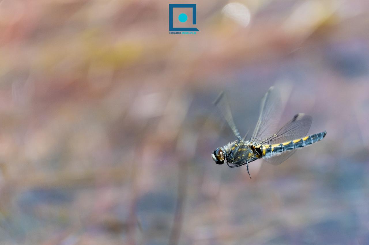 Noordse Witsnuitlibel (Leucorrhinia rubicunda)