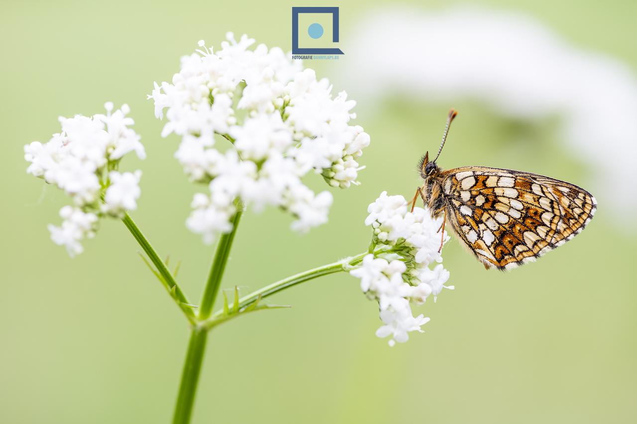 Woudparelmoervlinder, Melitaea diamina