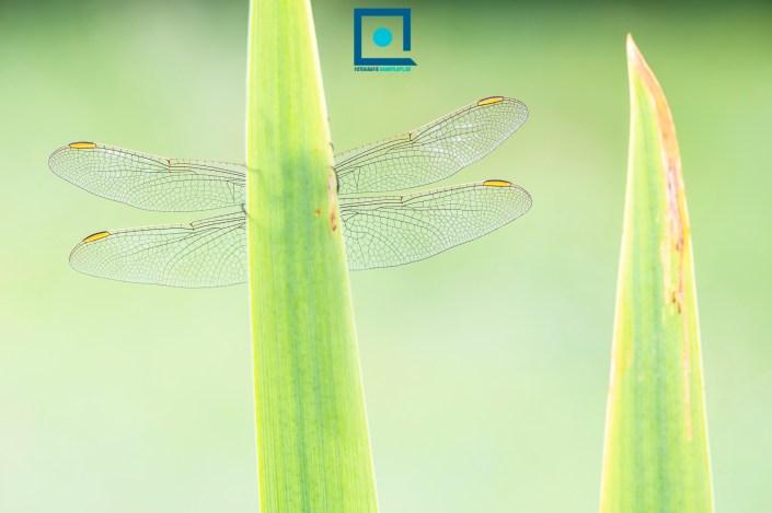 Zuidelijke Oeverlibel (Orthetrum brunneum). Detail van de vleugels met de oranje pterostigma's. Het pterostigma heeft een belangrijke functie bij het vliegen.