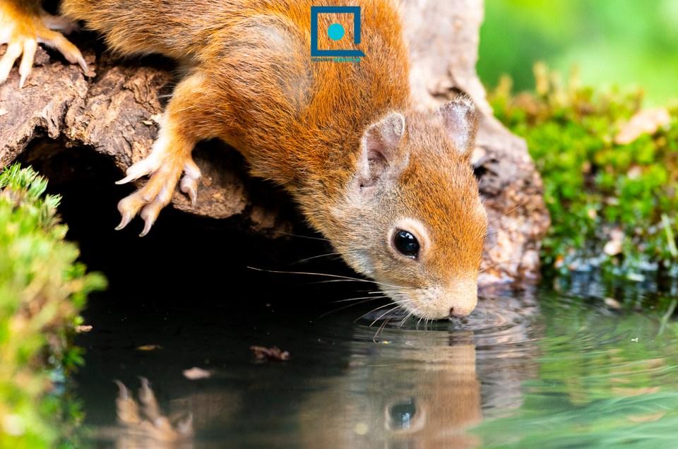Mevrouw eekhoorn komt drinken