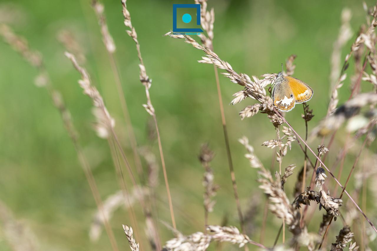 Tweekleurig Hooibeestje (Coenonympha arcania)