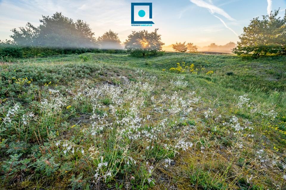 Duinflora: nachtsilene (Silene nutans). Landschap met nachtsilene bij zonsopkomst.