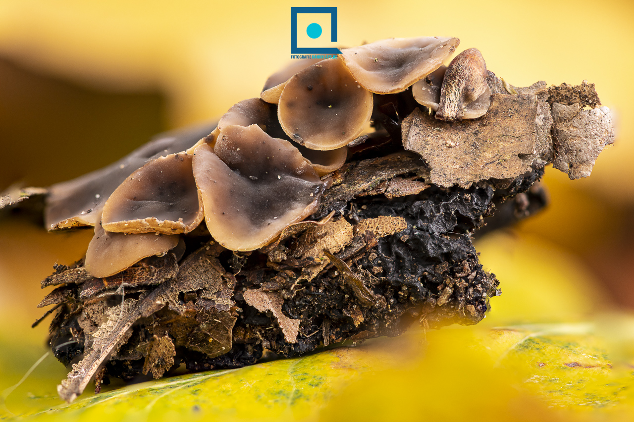 Eikelbekertje - Ciboria pseudotuberosa - Paddenstoel op (rottende) eikel