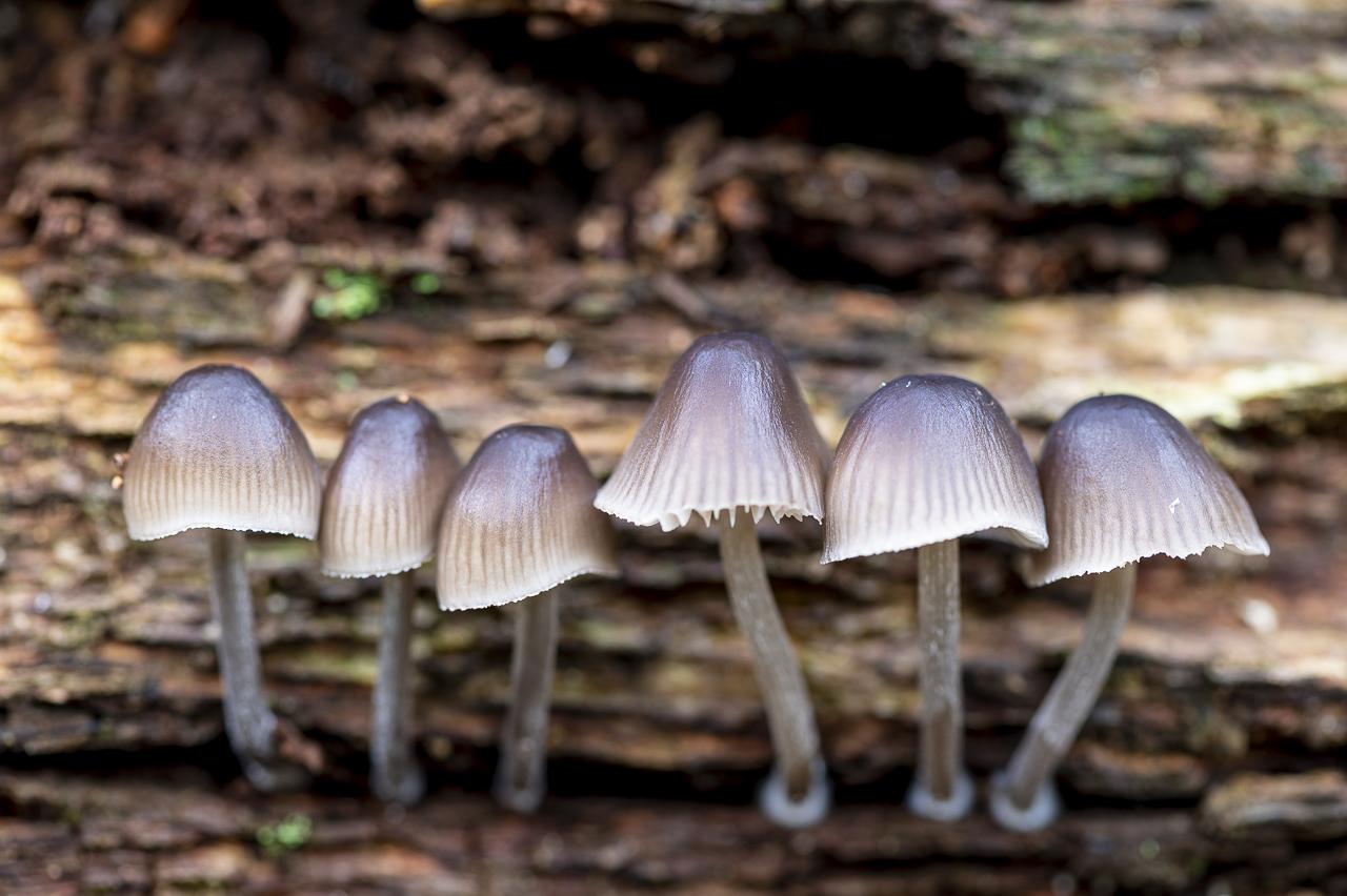Fraaisteelmycena (Mycena inclinata) - Paddenstoelen in het Peerdsbos Antwerpen