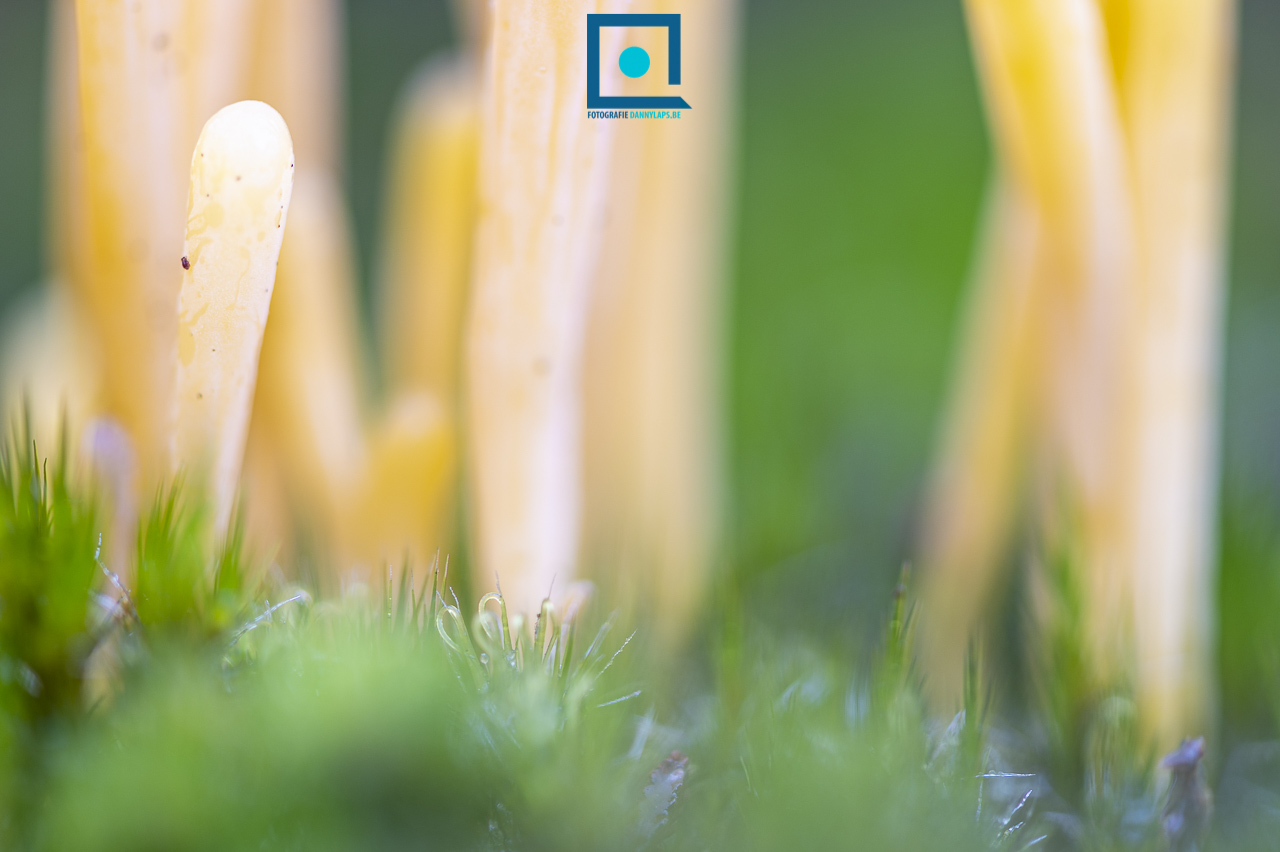 Heideknotszwam (Clavaria argillacea)