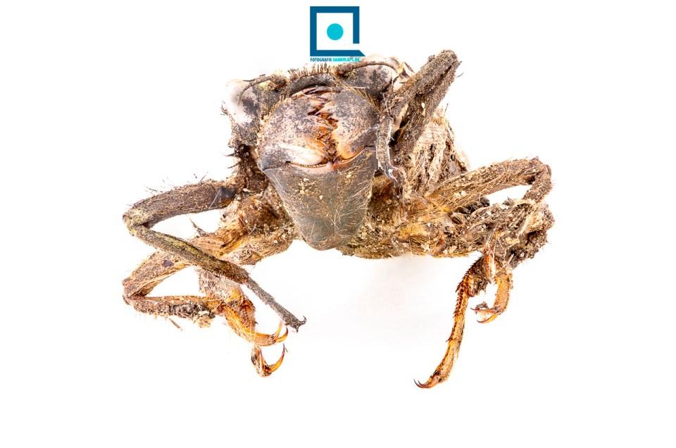 Gewone bronlibel (Cordulegaster boltonii): larvenhuidje of exuvium