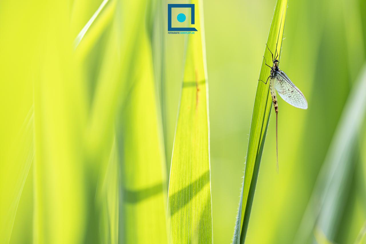 Halfgevlekte eendagsvlieg (Ephemera danica)