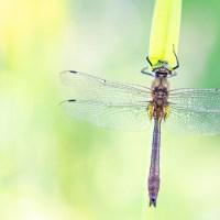 Een pracht van een smaragd(libel) (Cordulia aenea)