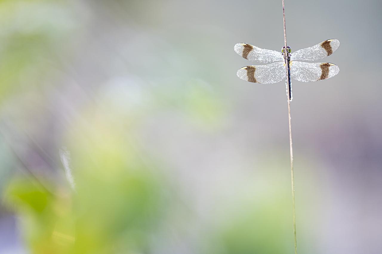 Bandheidelibel, Sympetrum pedemontanum