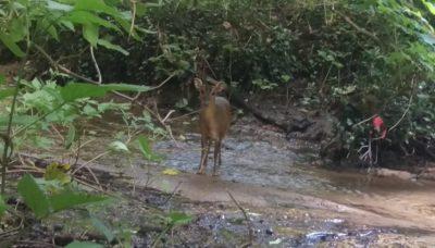 Muntjac Deer Hide & Seek