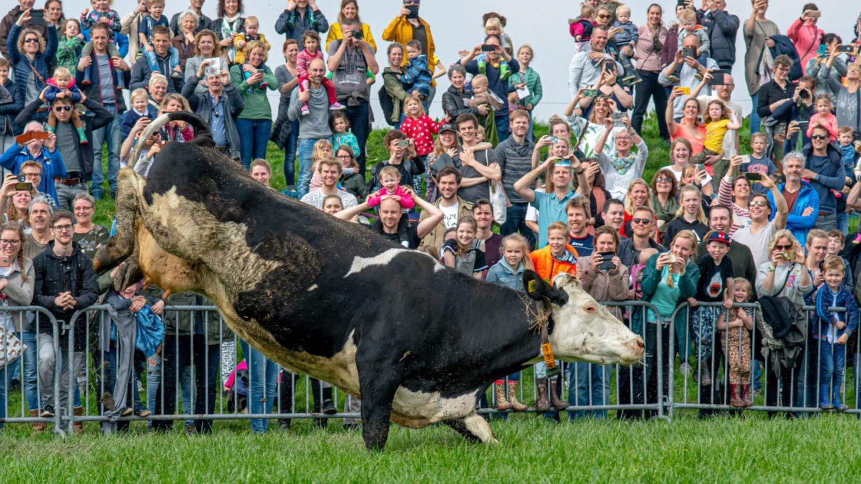 Koeiendansen. Hoeve Biesland delfgauw