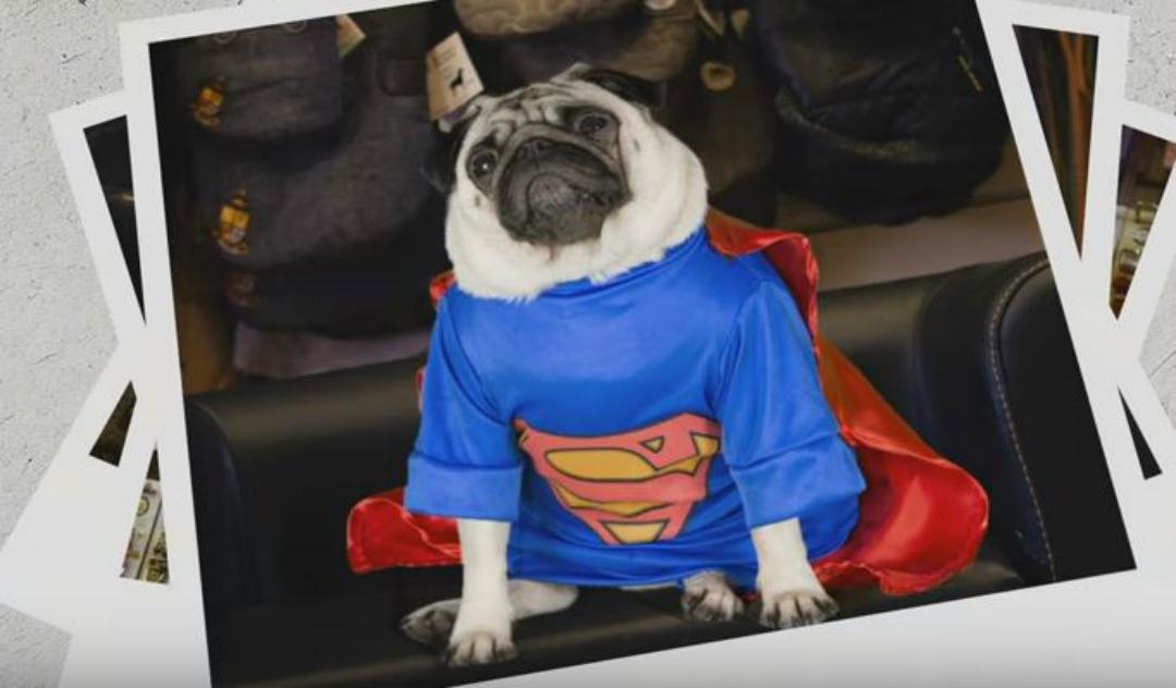 Vision Direct: A Pug's Christmas - Gizmo - Superpug - From a DannyUK.com article