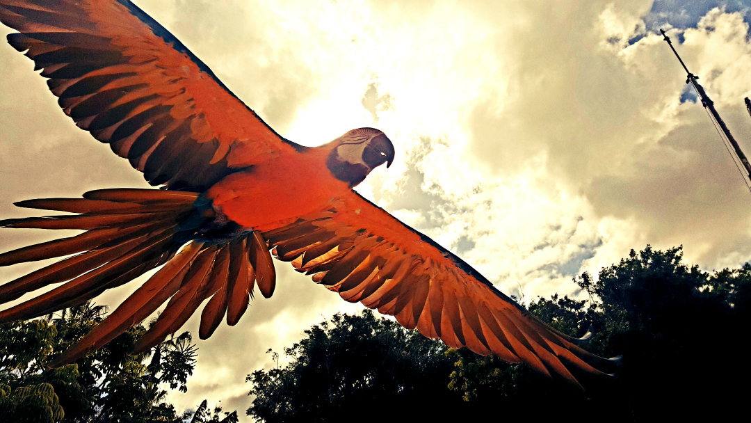 Parrot in flight - My Sunday Photo