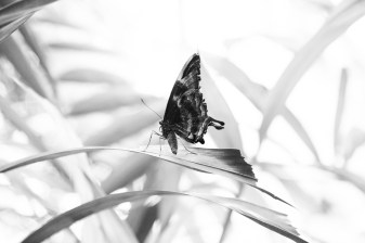 kuranda_birds_butterflies-14