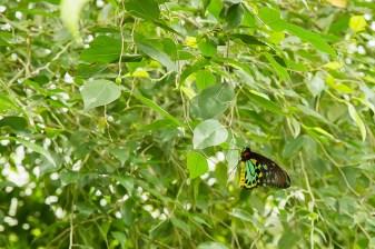 kuranda_birds_butterflies-16