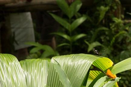 kuranda_birds_butterflies-4