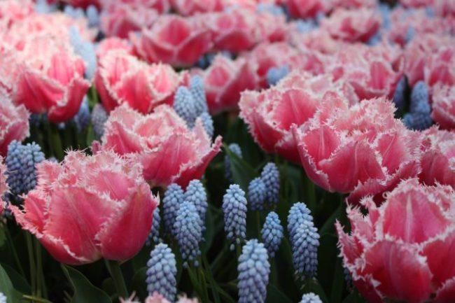 Ik vond de combinatie van tulpen en blauwe druifjes heel erg tof. Het zorgde er vaak voor de kleuren van de tulpen nog mooier uitkwamen. Iets met het kleurenpalet wat je vroeger op de middelbare school vast eens hebt moeten maken. ;-)