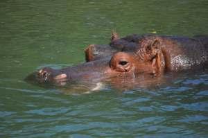 Hippo   Zoo de Toronto   danslapoche.ca