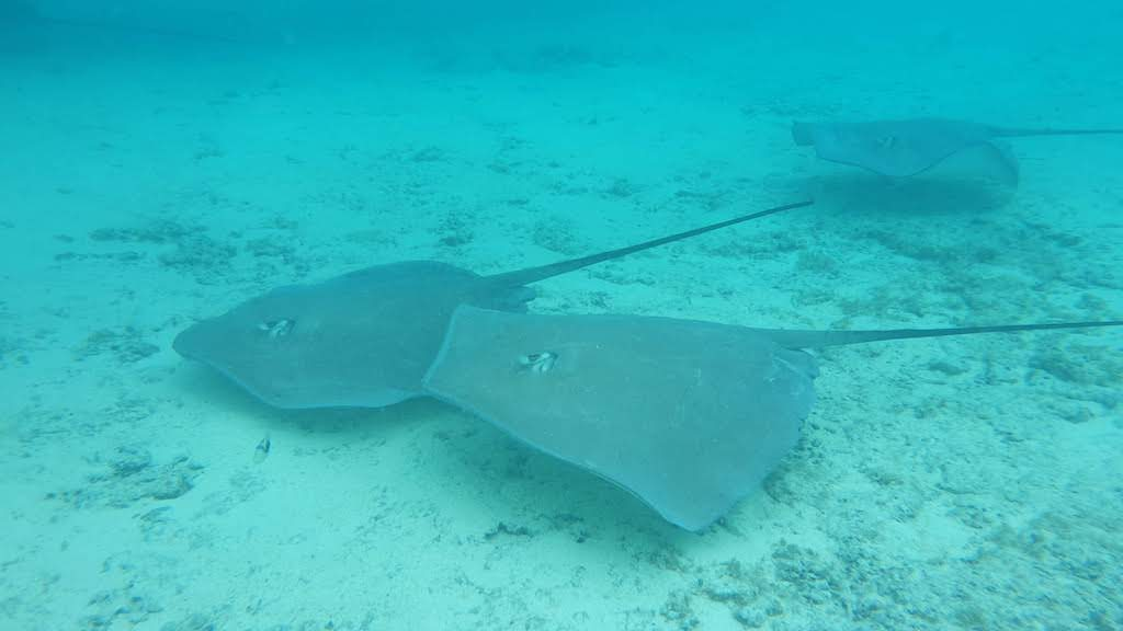 Les raies du lagon de Bora Bora