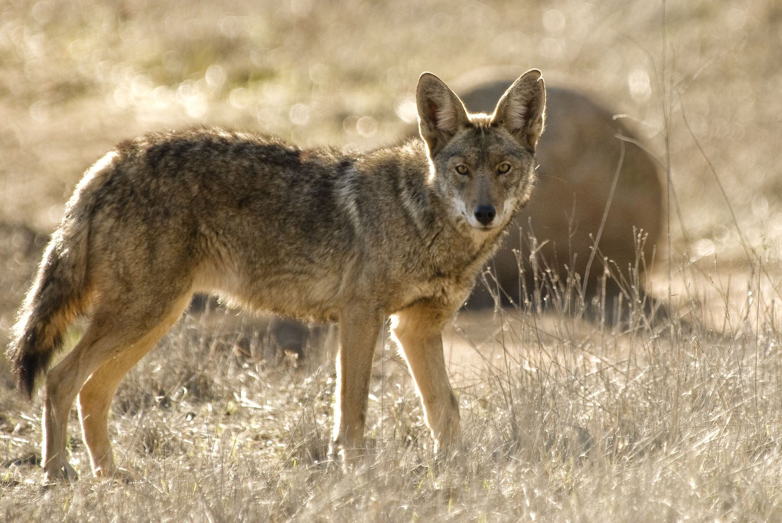 https://i2.wp.com/danthompsongamecalls.com/wp-content/uploads/2014/10/bigstock-Coyote-4186001.jpg