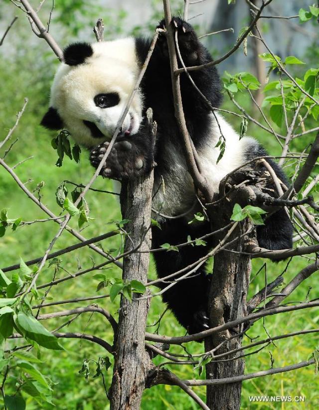 Panda urias 1