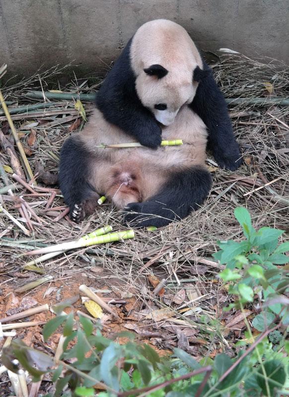 Primul pui de Panda in 2014 2