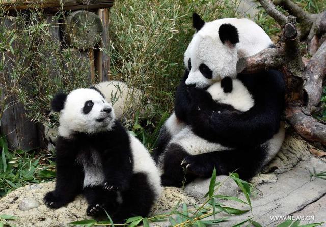 Primii tripleti de urs panda supravietuitori la nastere 1