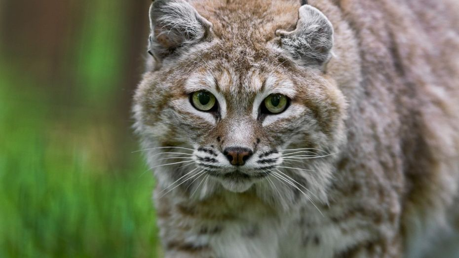 01-bobcat-dc-nationalgeographic_1435312 (1)