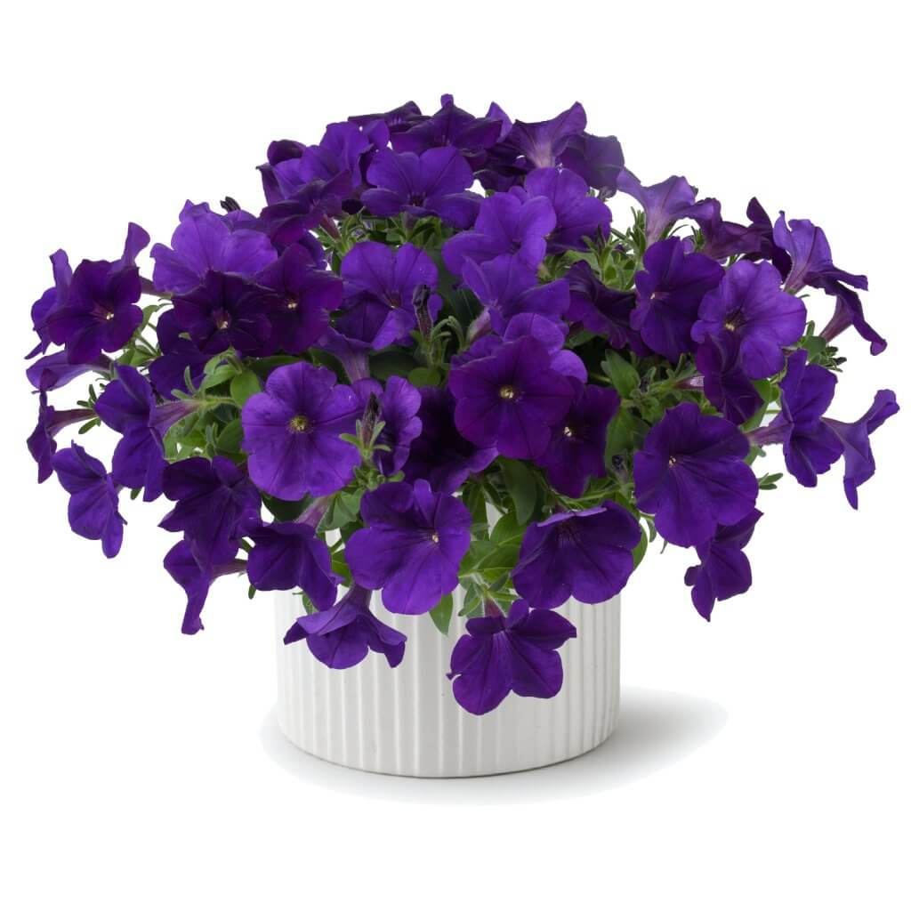 Petunia Capella Indigo Series High Quality Annuals Danziger