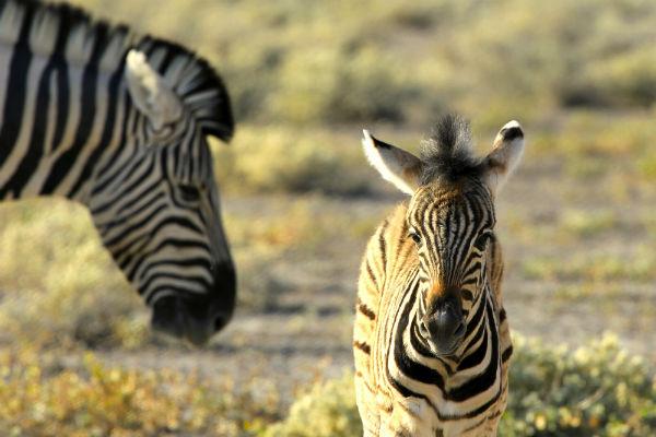 Baby zebra en moeder dwalen door Etosha NP tijdens onze safari