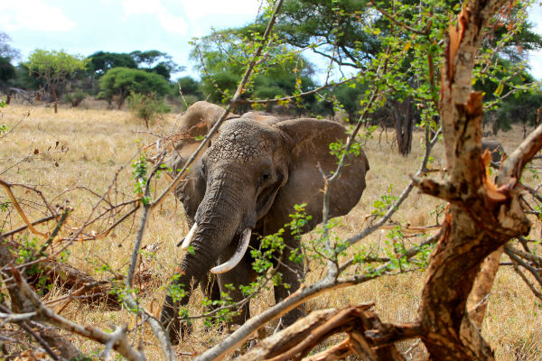 olifanten-tarangire-national-park-tanzania