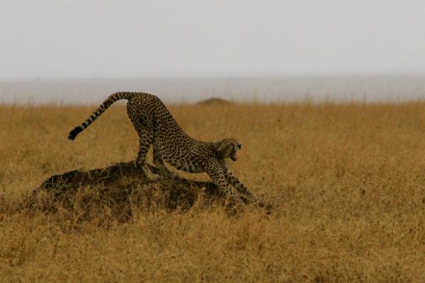 uitrekkende cheetah namiri plains oosten tanzania