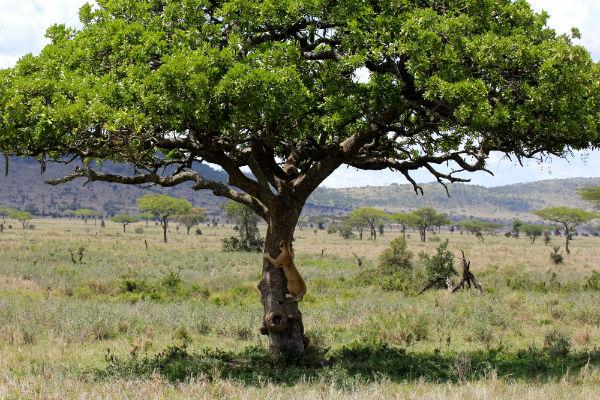 boomklimmende leeuw serengeti noord tanzania