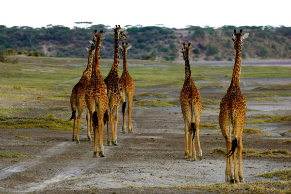 giraffes ndutu gebied noord tanzania