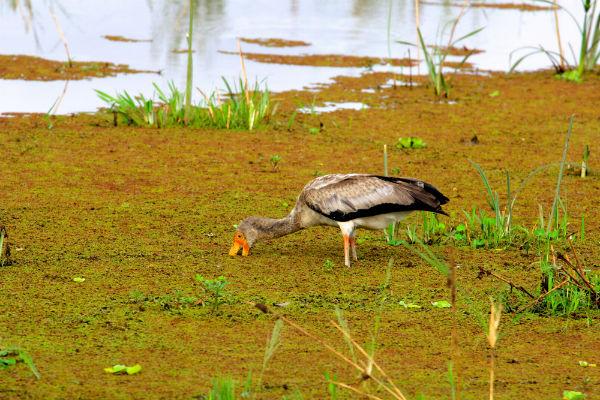 vogel in lake manyara noord tanzania