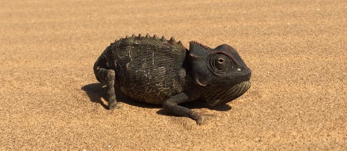 In de woestijn bij Swakopmund heb je super veel toffe dieren zoals deze