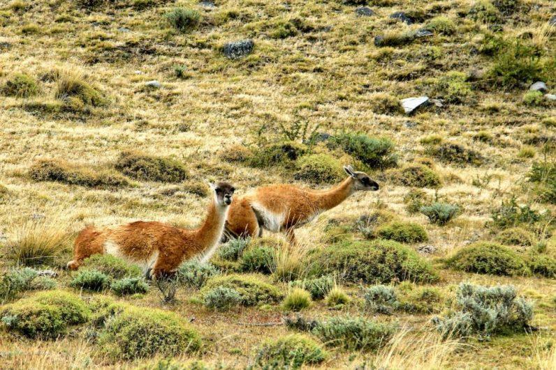 Dieren spotten in Patagonie is ook een heuse belevenis