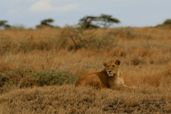 leeuwin bij namiri plains oosten tanzania