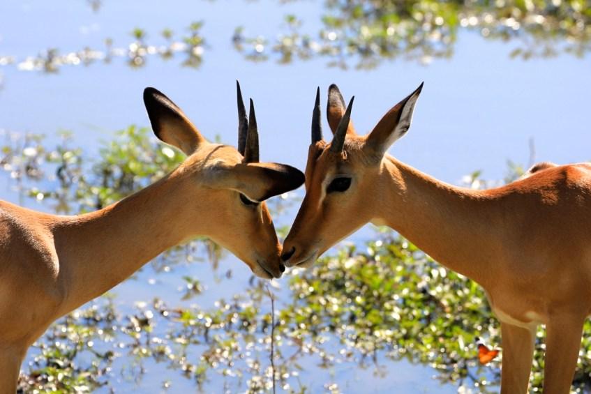 impala's in Botswana