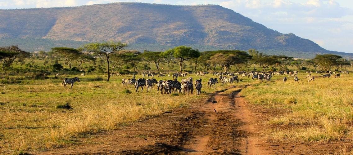 serengeti national park noord tanzania zebra