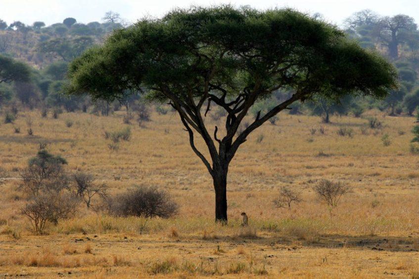 Cheetah staat op wacht onder een prachtige baobab boom in Tarangire National Park Tanzania