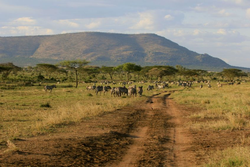 zebra migratie in de serengeti Tanzania