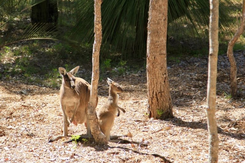 In Yanchep National Park vind je erg veel kangoeroes en koala's