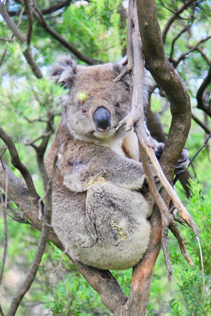 Slapen onder de koala's langs de Great Ocean Road